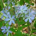 Blue Phlox