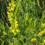 Clover – Yellow Sweet