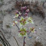 Death Camas or Dune Lily
