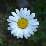 Daisy – Ox-eye