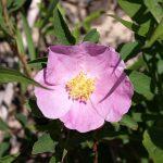 Rose – Smooth