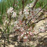 Sand Cherry
