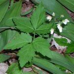 Toothwort – Broadleaf