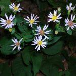Aster – Large-Leafed